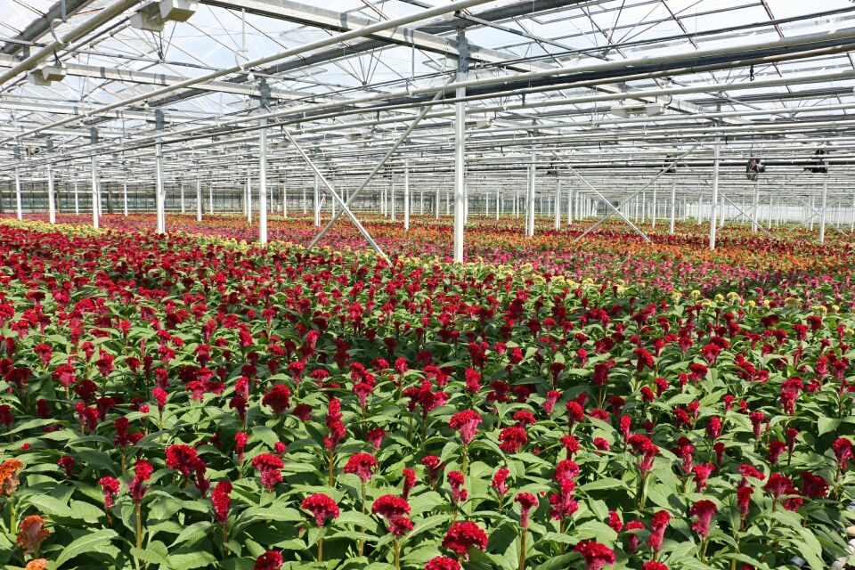 #Celosia #Cristata Field; #Grower #NDFlower; Available at www.barendsen.nl