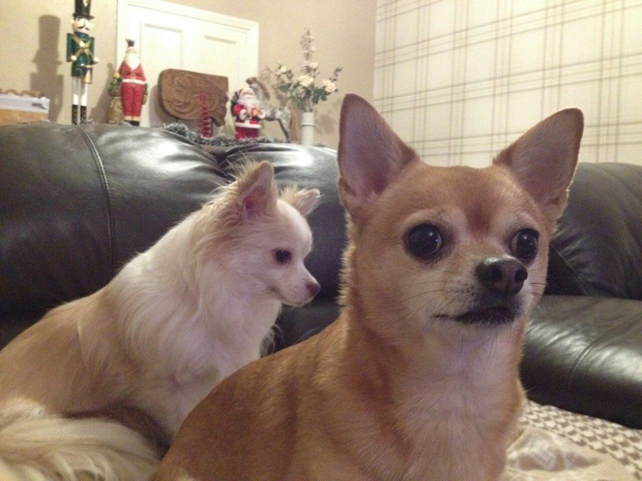 Scientists Have Found That Chihuahua Owners Love Their -4030
