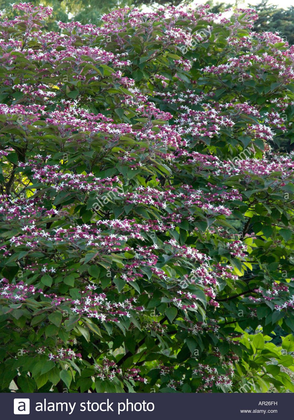 clerodendrum trichotomum var. fargesii | countryside outside