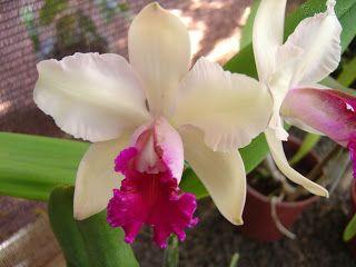 orquideas - Pesquisa Google