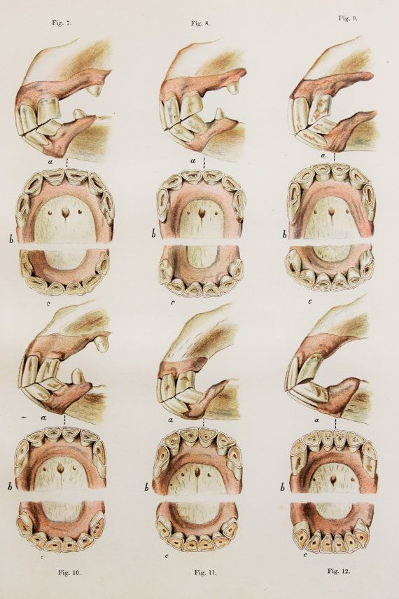 Antique Horse Print Horse Anatomy Teeth & Jaws. by PaperPopinjay ...