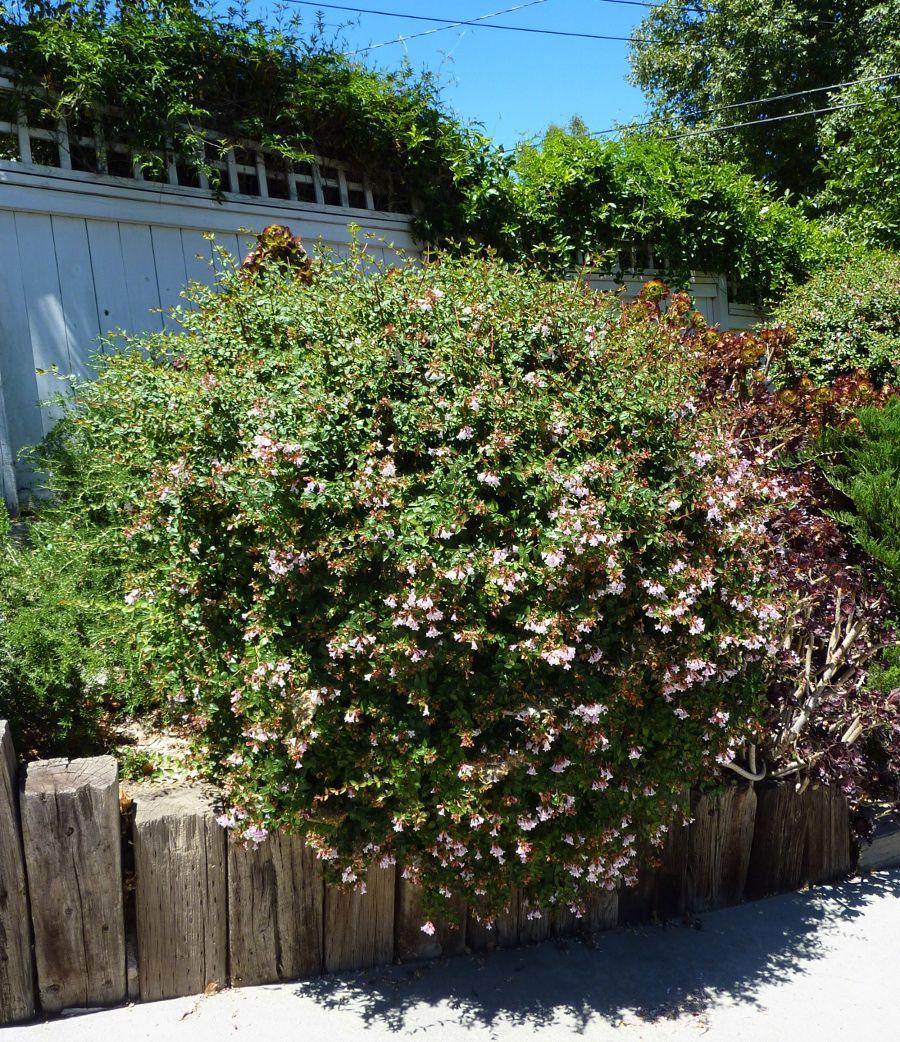 Abelia grandiflora glossy abelia non native evergreen - Weiayer garten ...