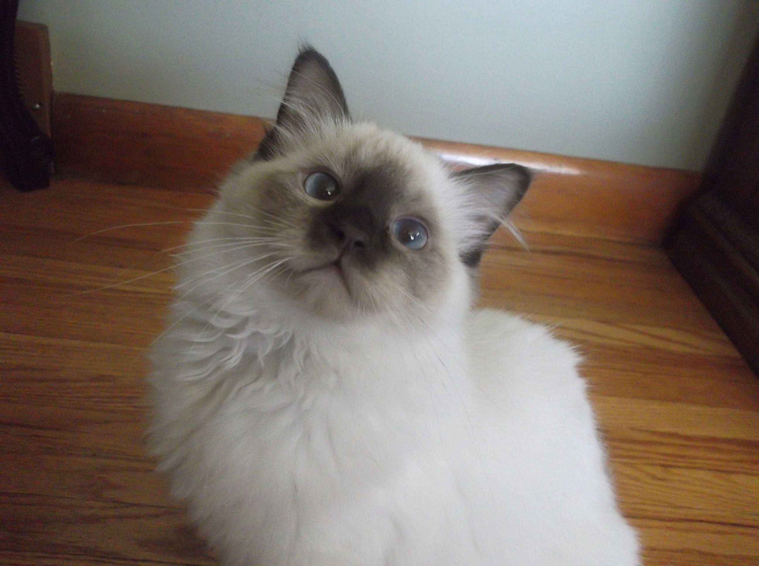 Ragdoll Cats Chatabelles Ragdolls Kings Ontario Canada | Ragdoll ...