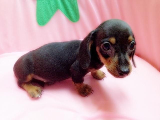 puppies - MINIATURE DACHSHUND PUPPIES FOR SALE