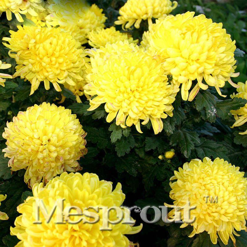 100pcs Yellow Chrysanthemum Seeds Chrysanthemum Morifolium Seeds Flower Potted Plant For Diy Home Gard Chrysanthemum Seeds Flower Pots Chrysanthemum Morifolium