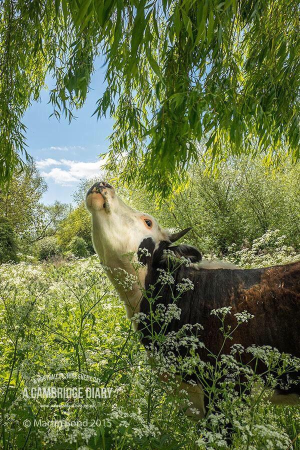 Happy cow. (Cambridge, UK)