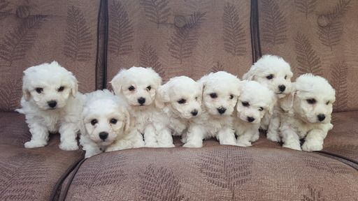 Litter Of 8 Bichon Frise Puppies For Sale In Snohomish Wa Adn