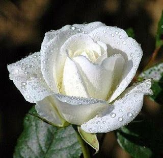 White rose flower meaningwhite rose flower white rose symbolic white rose flower meaningwhite rose flower white rose symbolic white flowers white mightylinksfo