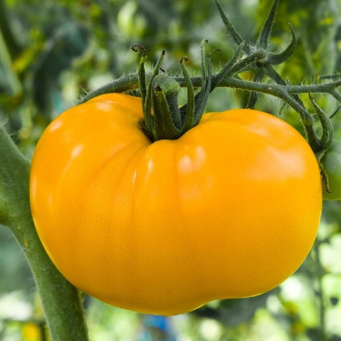 Tomato Seeds Azoychka Vegetable Seeds Heirloom Tomato 400 x 300