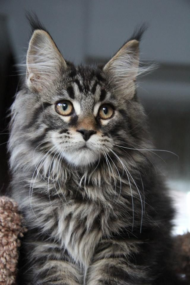 FANCY MAINE COONS Giant maine coon kittens for sale| Available Kittens.