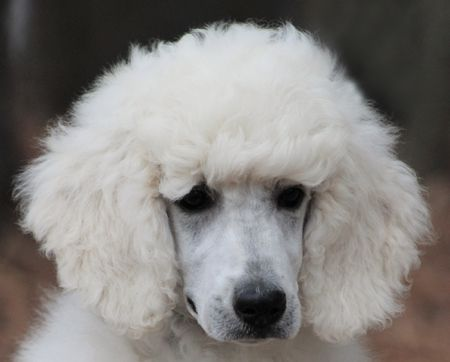 60 Winter S White Blue Polish Male Sold Poodle Puppy