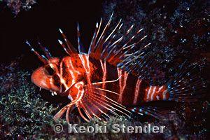 Hawaiian Red Lionfish or Turkeyfish