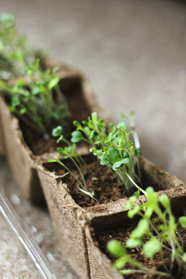How To Grow Microgreens Growing Microgreens Plants Edible Garden