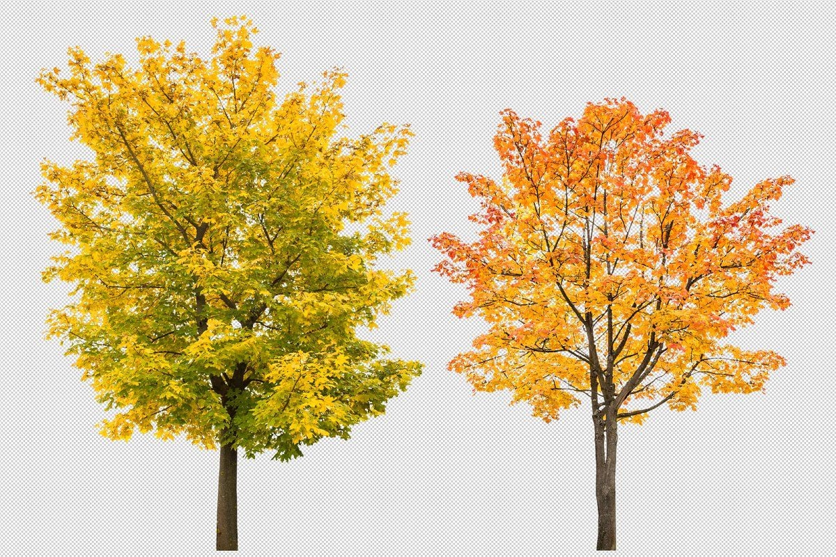 Maple tree autumn PNG transparent in 2020 Maple tree