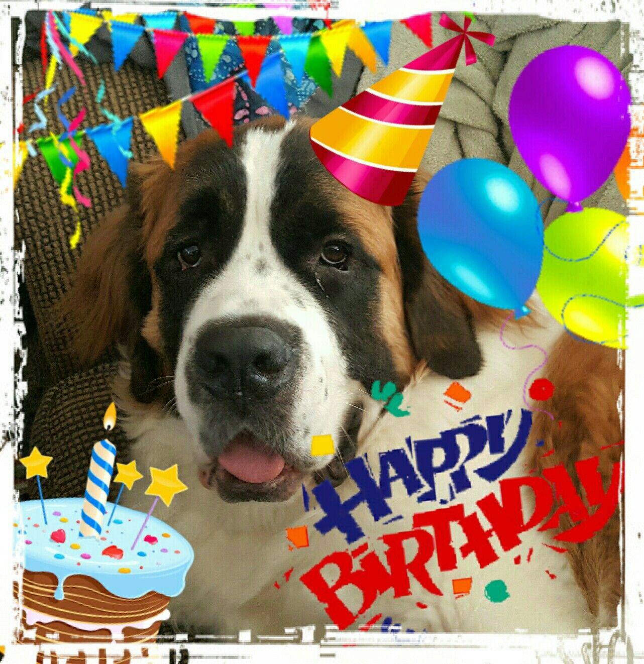 Happy 2nd Birthday Bodhi St Bernard Love Happy 2nd