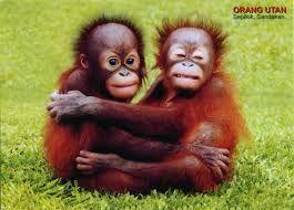 Bildergebnis für orang utan