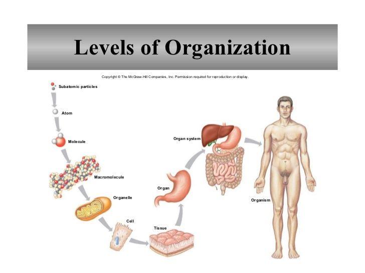 Organization Of The Human Body Worksheet Google Search Anatomy