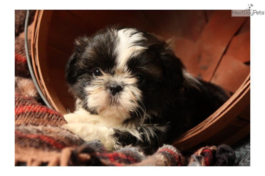 Penny Shih Tzu Shih Tzu Puppy For Sale Near Lancaster