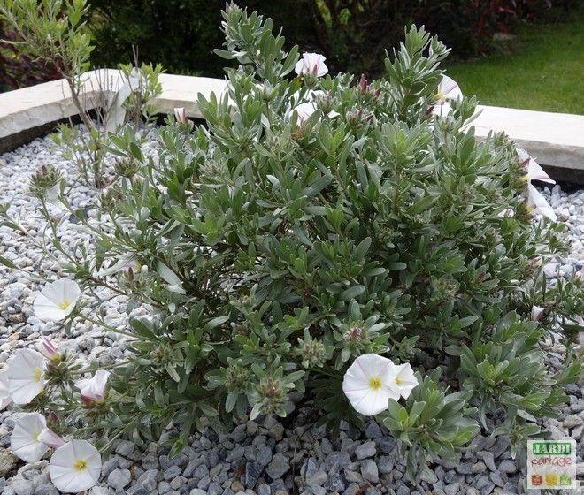 Convolvulus cneorum: liseron argenté | Jardins, Plantes méditerranéennes et Fleurs blanches