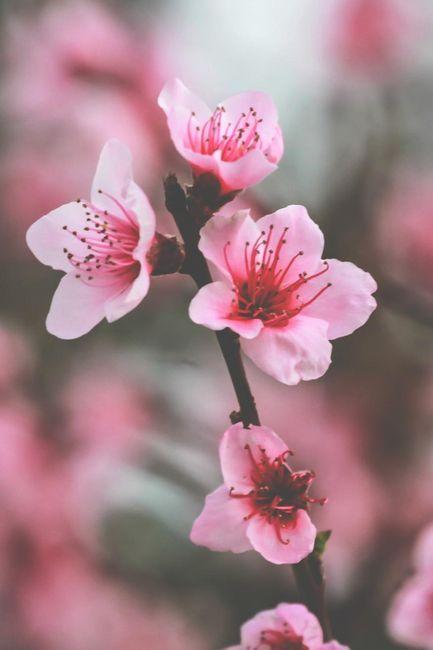 FLOR DE CEREZO \u2026 Flowers Flores, Sakura flor de cerezo, Tatuajes