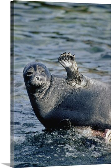 Baikal Seal : Zabaikalsky National Park Russia | Animals ...