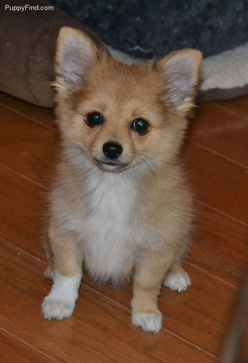 Pomchi D This Looks Like A Puppy Bax Pomeranian Chihuahua Mix