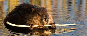 Bildergebnis für beaver
