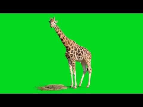 Green Screen Animals - Giraffe Stock Footage Video - YouTube