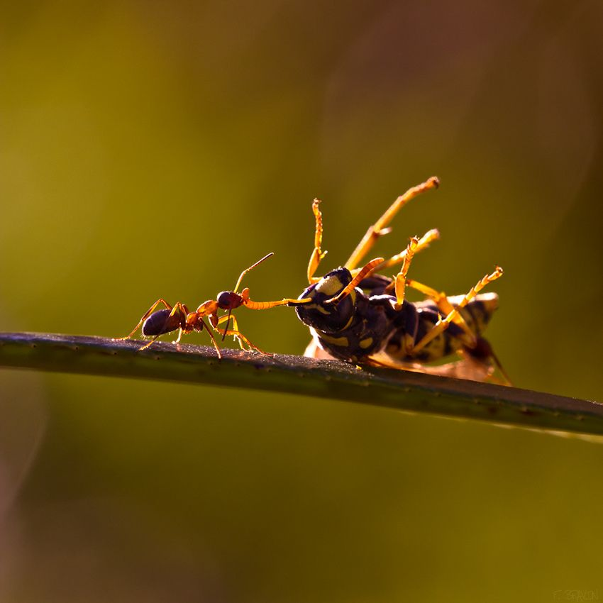 Win by ippon - Ant : 1 / 0 : Wasp