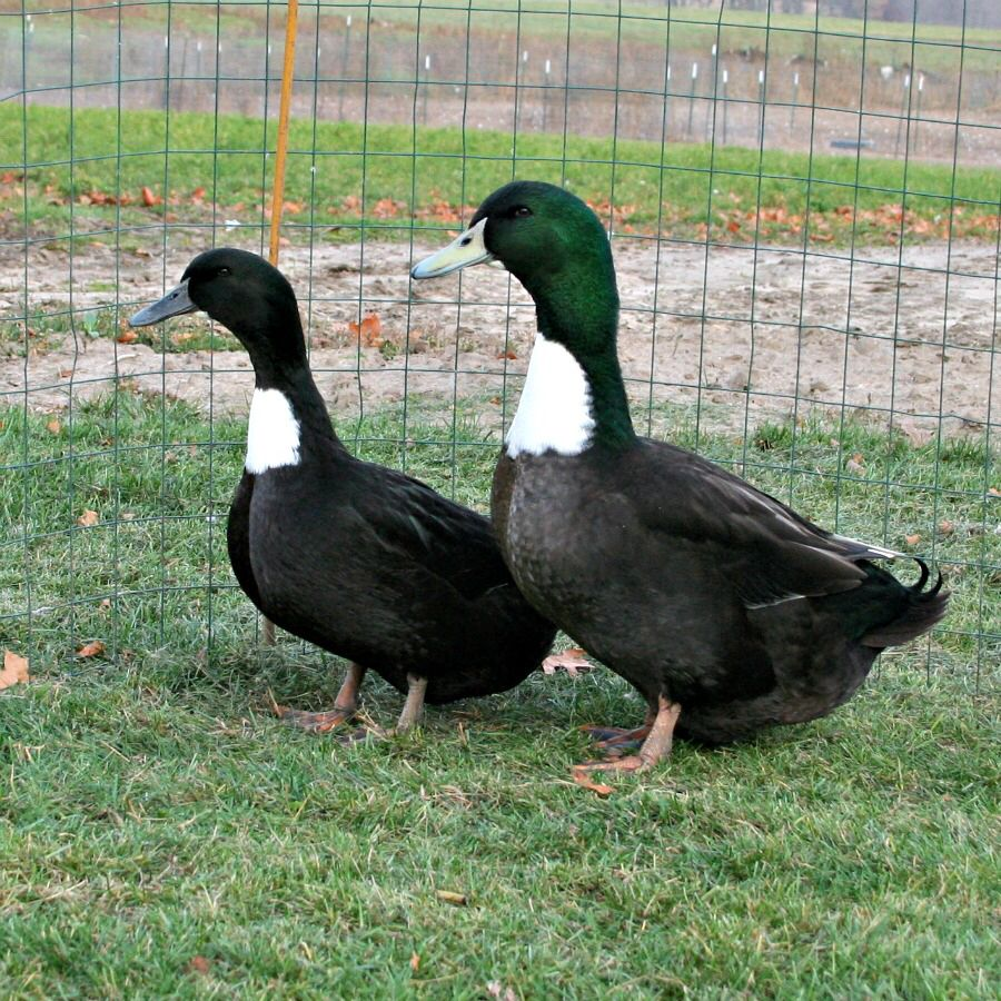 a beautiful pair of black swedish ducks poultry pinterest animal