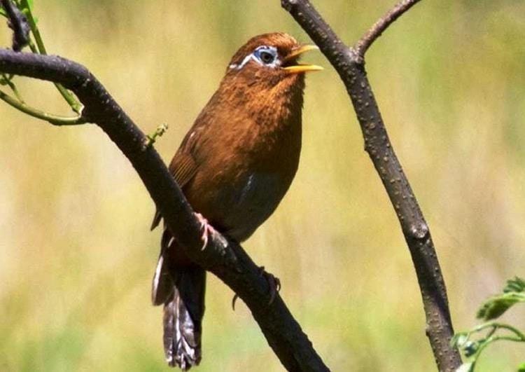 Inilah Jenis Makanan Burung Hwamei Agar Bisa Gacor Makanan Burung Burung Burung Cantik