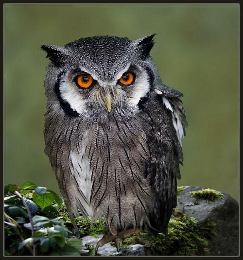 majestic-owl:  Scops owl (otus scops) by hawkgenes on Flickr.