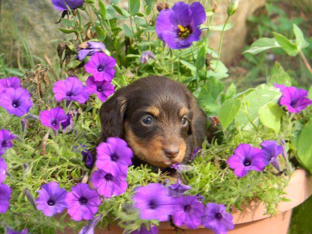 Boondoxie Puppy Dachshund Puppies Dachshund Breeders Dachshund Puppy Miniature