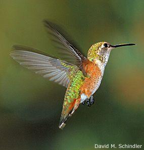 The Hummingbirds Of Winter National Wildlife Federation Bird Life List Hummingbird Hummingbird Photos
