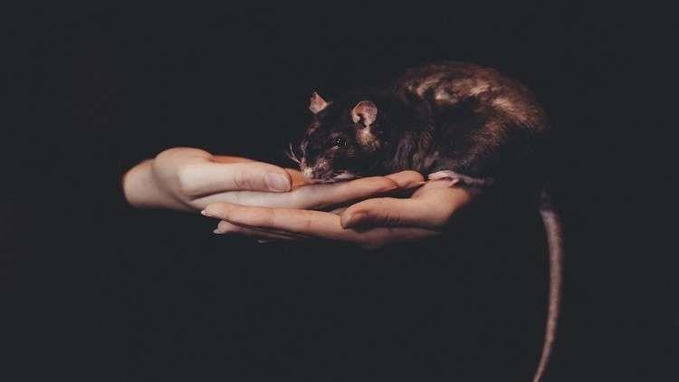 استخدام فئران ميتة لتهريب مخدرات إلى سجن بريطاني صور Black Rat Pet Rats Animals