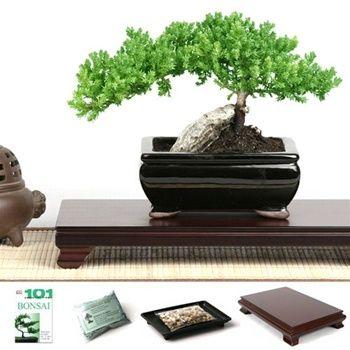 Idea for foyer?  Rock Juniper Bonsai Tree Gift Set