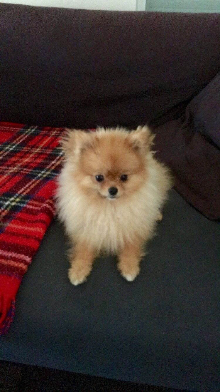Pin By Lisa Alexander On Pomeranians Cute Puppies Cute Animals