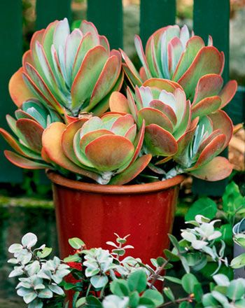 Grown for their interesting fleshy leaves, and in some cases their vivid flowers, kalanchoes are a wide range of colourful succulents. Try 'Flapjack' in pots or massed in garden beds. Grow in free-draining soil. Foliage colour best in full sun. Zones: 4, 5, 6, 7, 8, frost free in 3, less arid areas in 1.