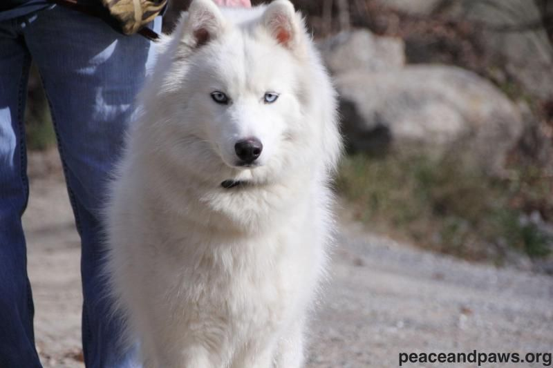 Adopt Chiefadopted On Husky Mix Samoyed Husky