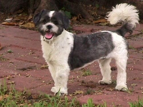 Orlando Shih Tzu Dog Fort Lauderdale Fl Rescues That Need A New