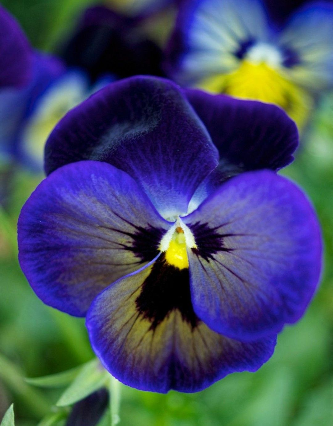 Pin By Viola Stefano On Fiori E Piante Belli Come Te Amore Mio Pansies Flowers Flower Seeds Pansies