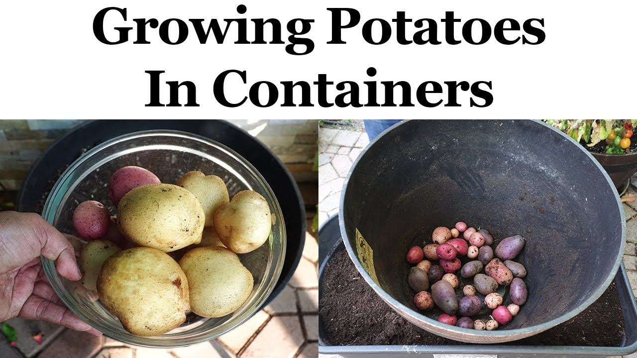 Growing Potatoes In Containers or Pots YouTube