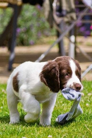 You Dropped This Cute Animals Springer Spaniel Puppies Springer Puppies
