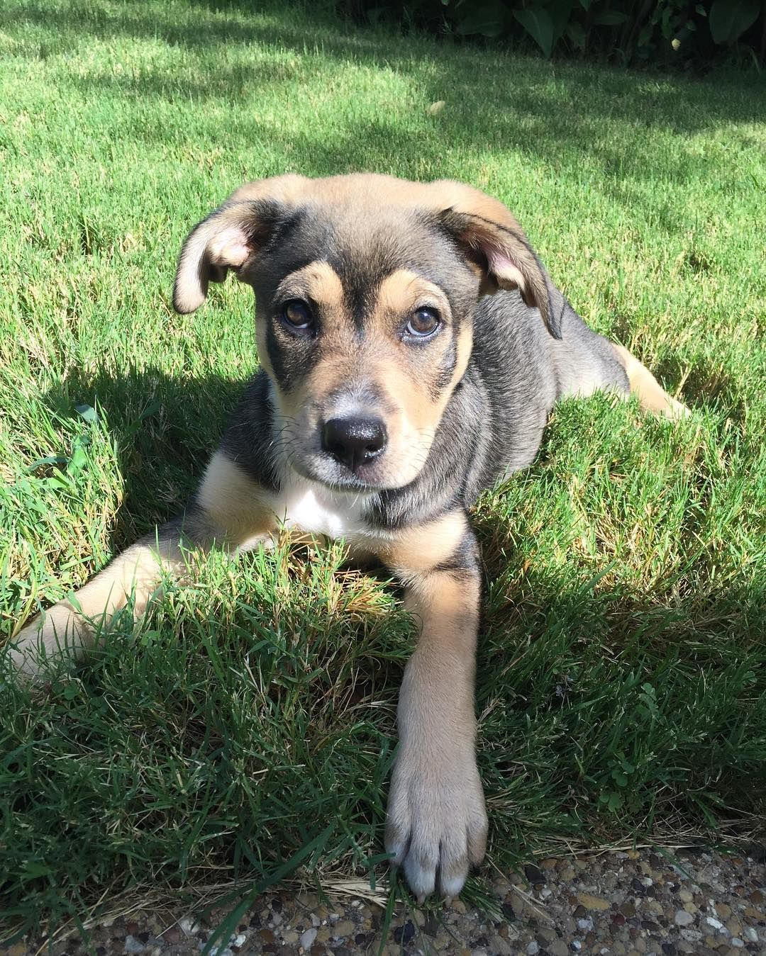 Australian Shepherd Doberman Pincher Mix Hybrid Dogs Dog