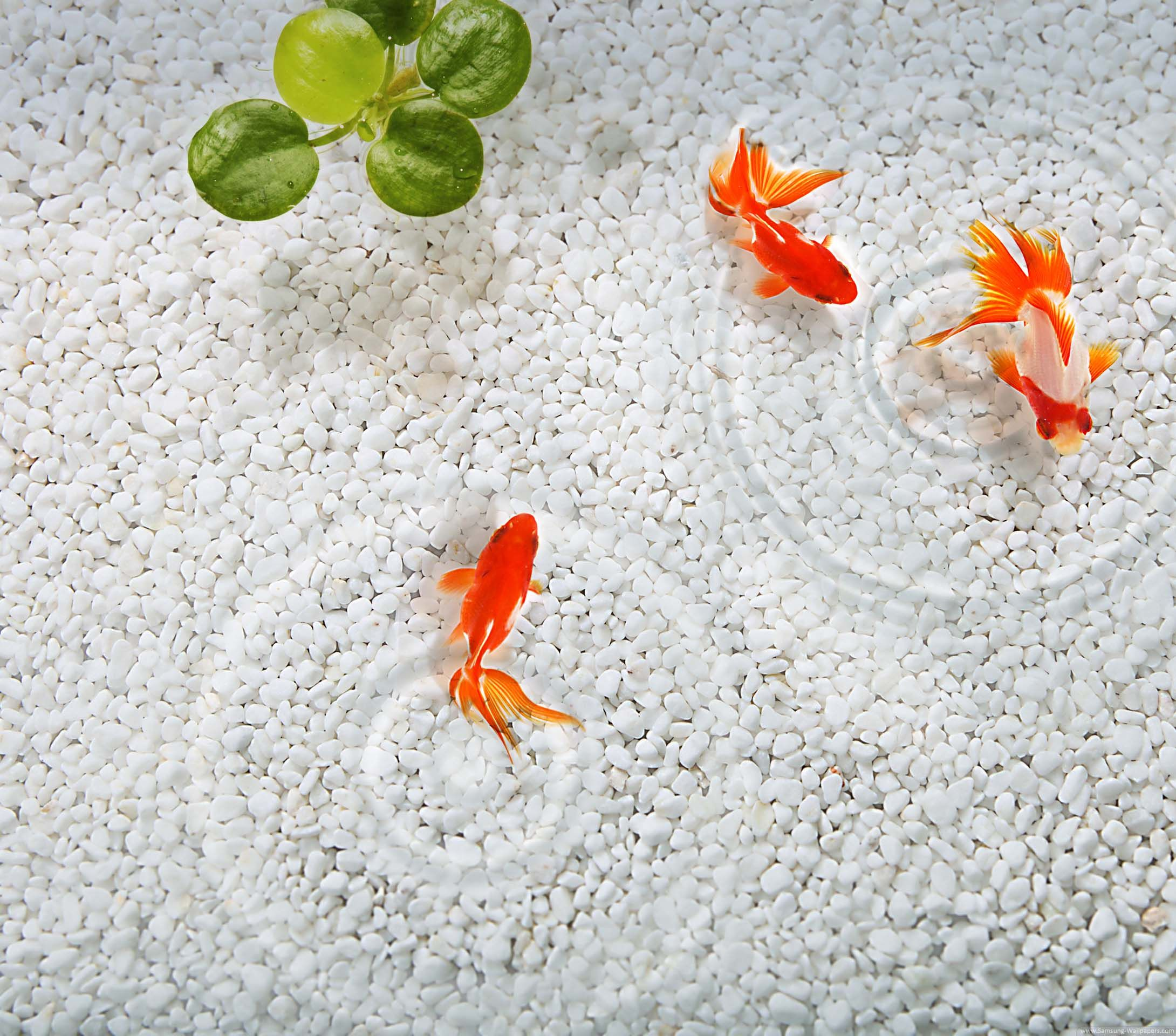 Goldfish In Water HD For 2160x1920 Galaxy S4 Wallpapers Samsung