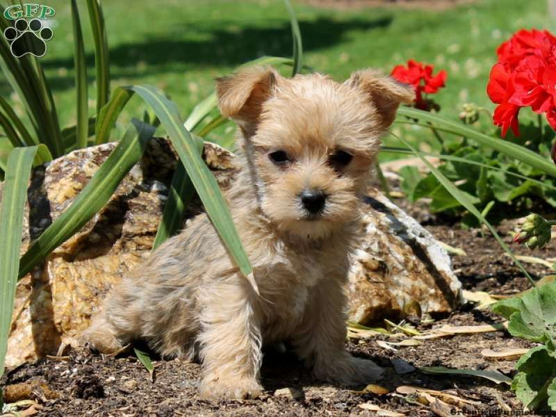 Tammy - Havashire Puppy For Sale in Pennsylvania | Puppies