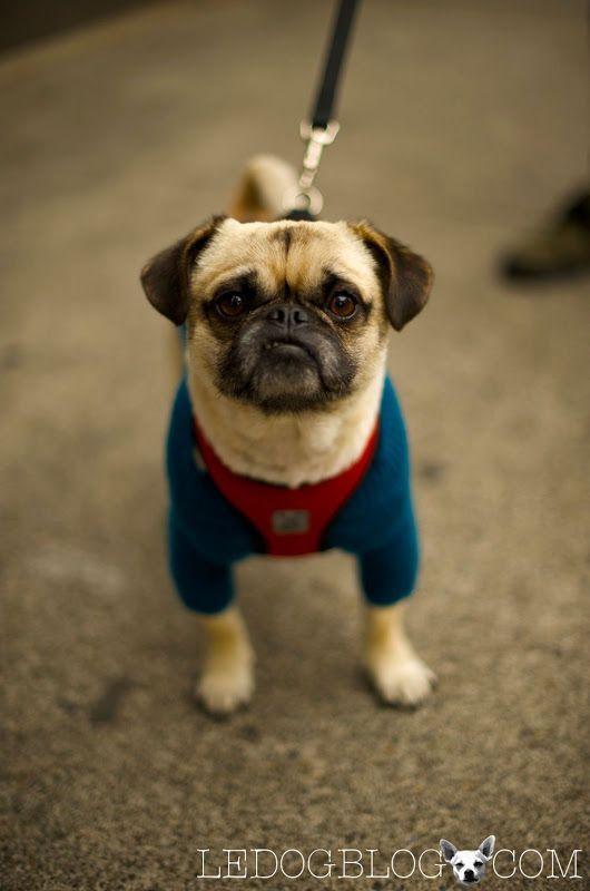 Super Hero Spandex Cute Pugs Dog Blog Pugs