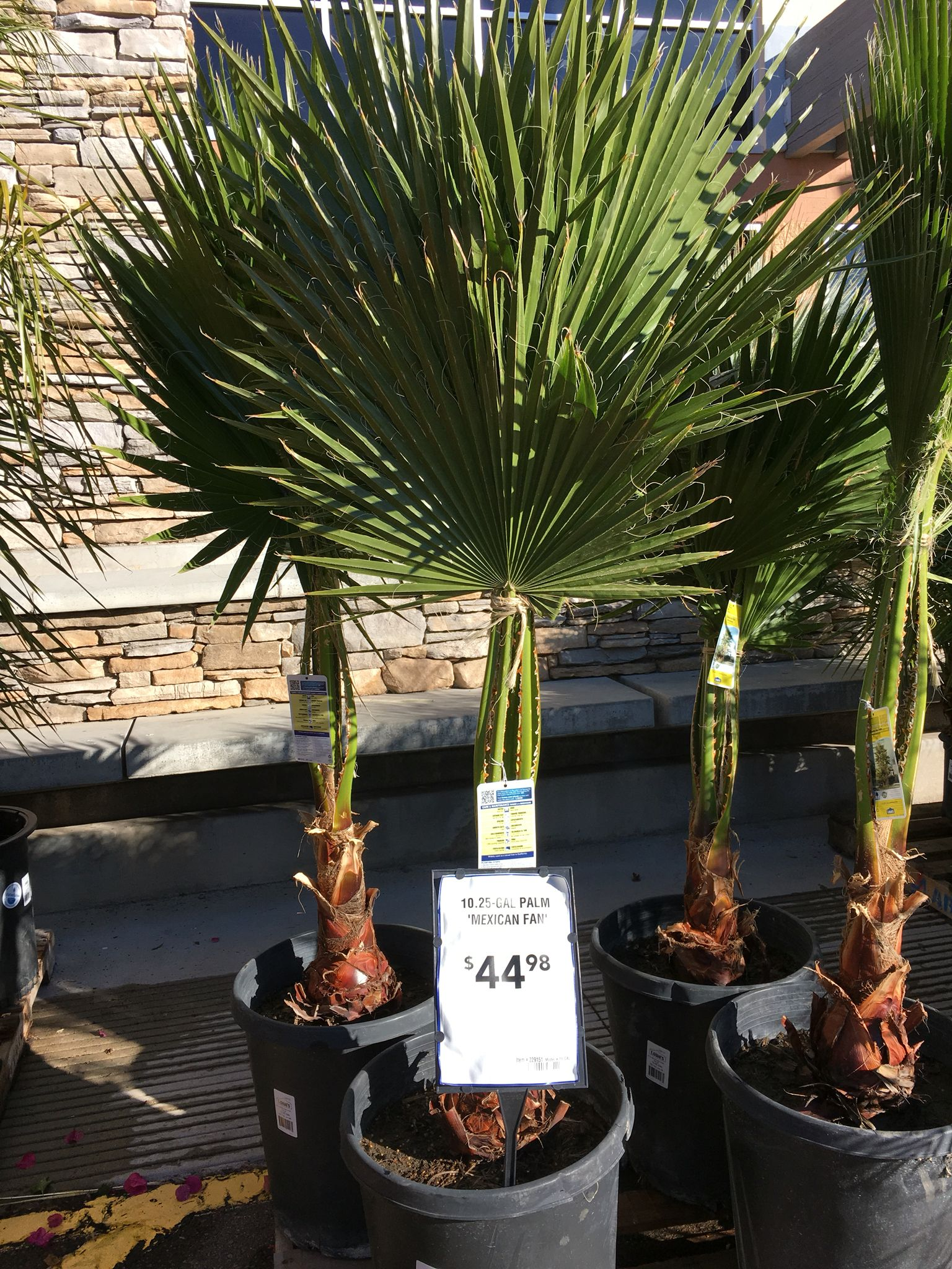 Home Depot Palm Trees Mexican Fan Palm Tropical Home Depot Plant Lady Mexican Fan