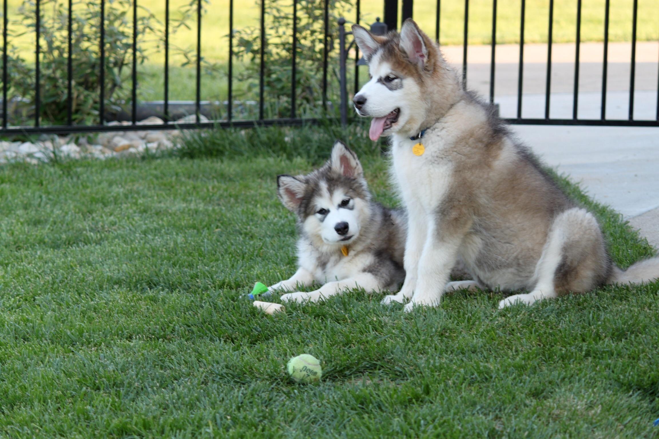 Pin By Shelby Seibert On Dogs Alaskan Malamute Giant Alaskan