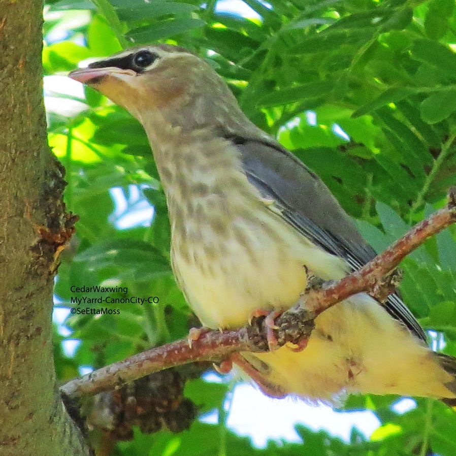 Cedar Waxwing fledglings look very much like their parents, with more streaking on the chest and slightly less well-defined masks. Learn more on the Birds & Blooms Blog.